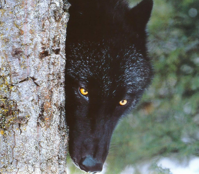 Beautiful-black-wolf