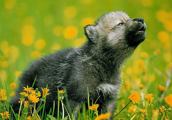 grey-wolf-pup