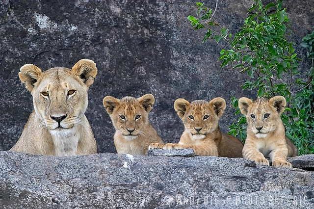 Elsa and her cubs