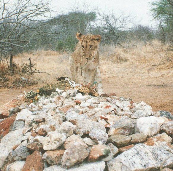 A lion visits George's resting place the day after his burial