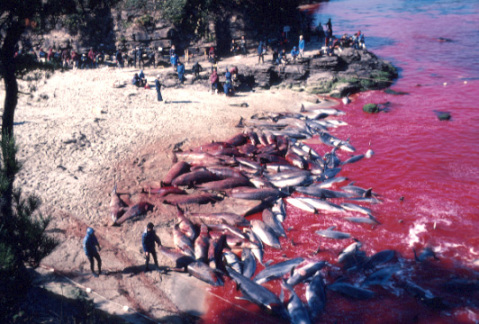 japan-dolphin-cove-slaughter